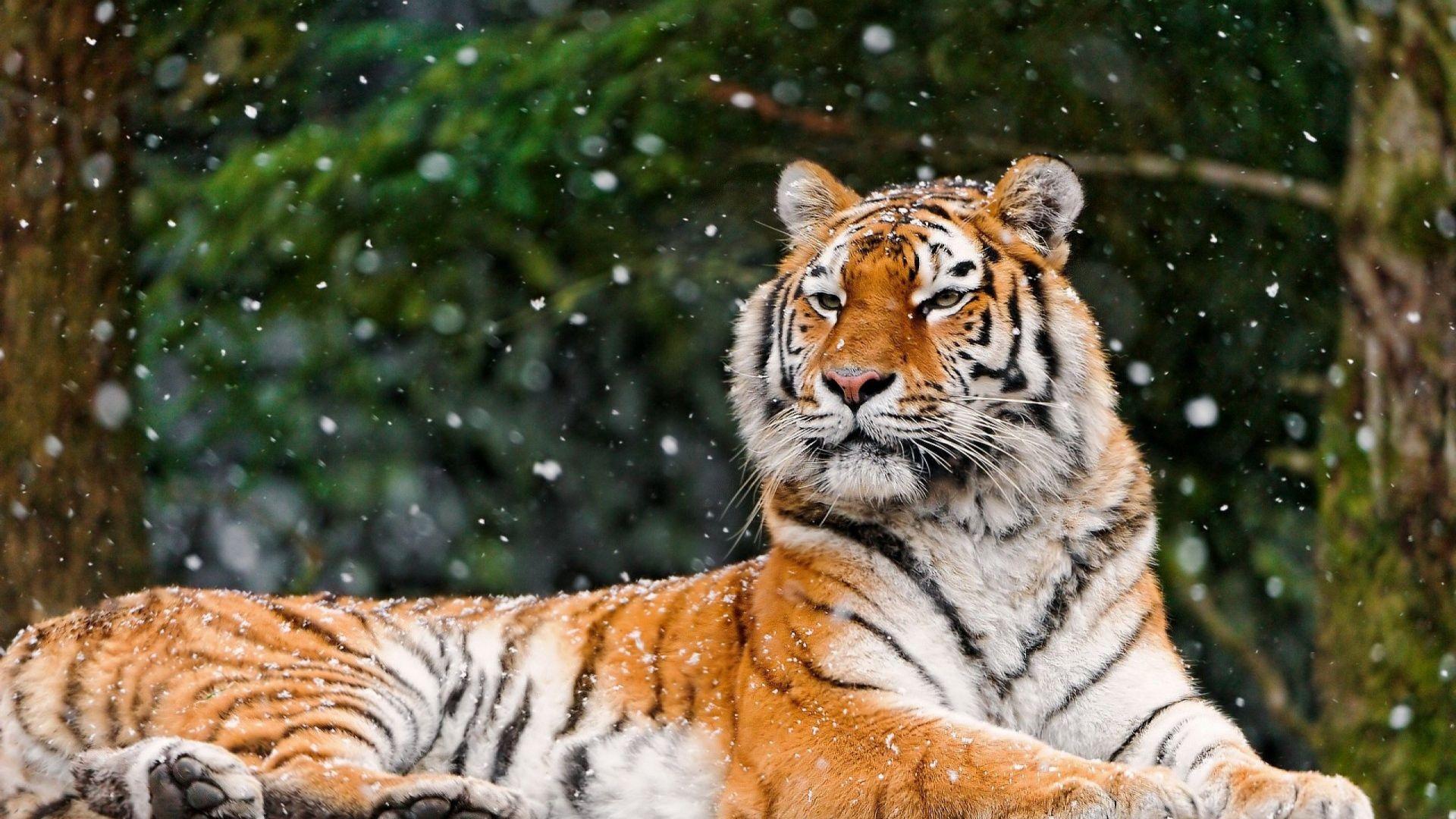Download Wallpaper 1920x1080 Tiger Snow Lying Animal Full Hd 1080p Hd Background Tiger Wallpaper Animal Wallpaper Animals