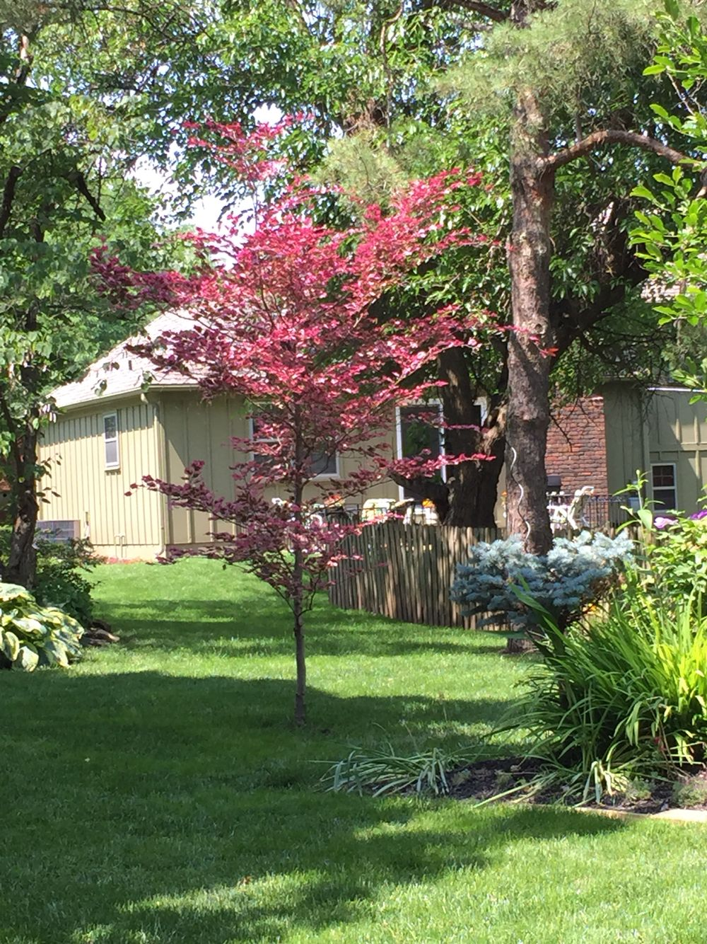 Tri color beech and Japanese blood-good maple with Boxwood and ...