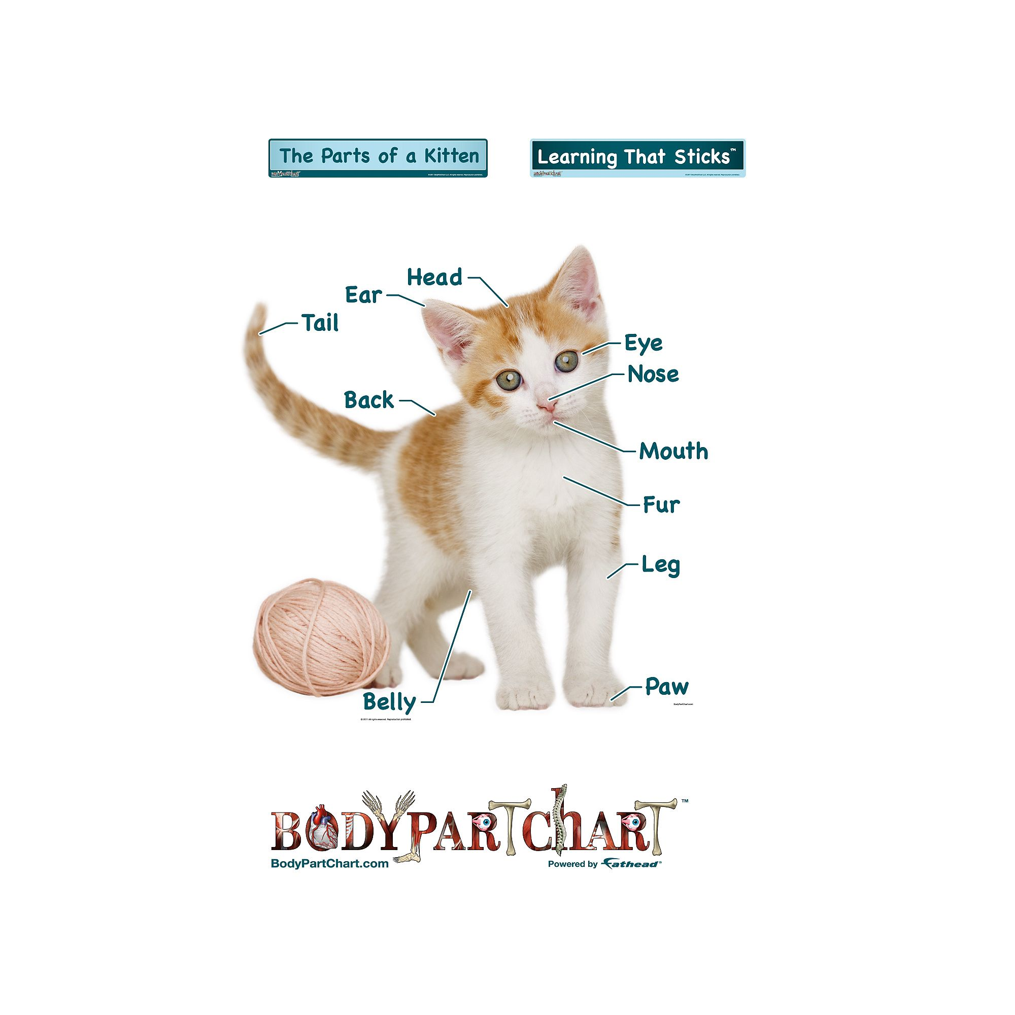 Kitten Labeled Kitten Body Health Body