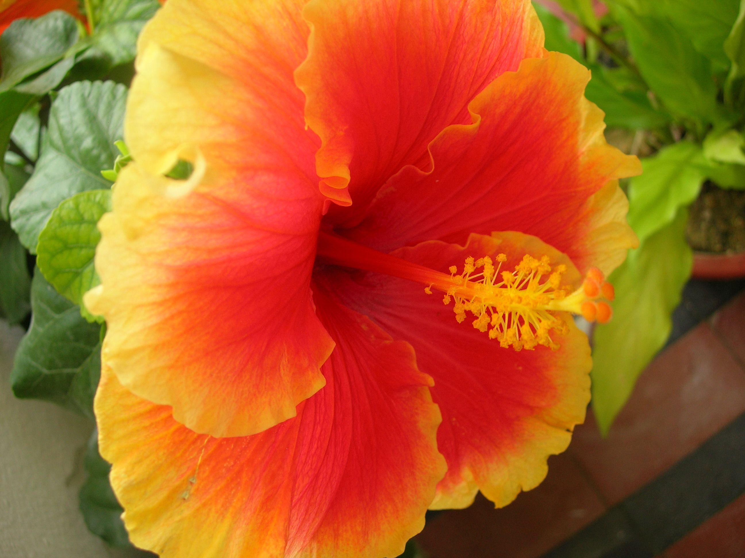 Our national flower hibiscus cameron highlands garden memories our national flower hibiscus cameron highlands izmirmasajfo