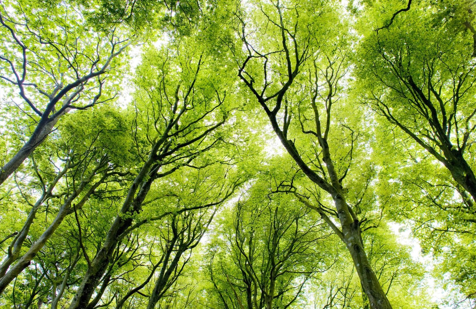 Bright Canopy Forest Plain Wall Mural