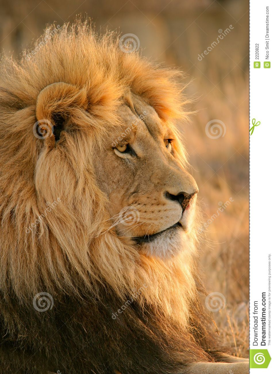 Pin by Kelsey Manthei on Lions | Lion, Male lion, Lion ...
