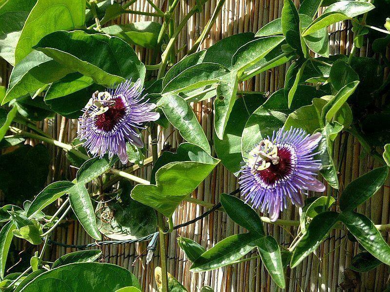 Passiflora Purple Haze