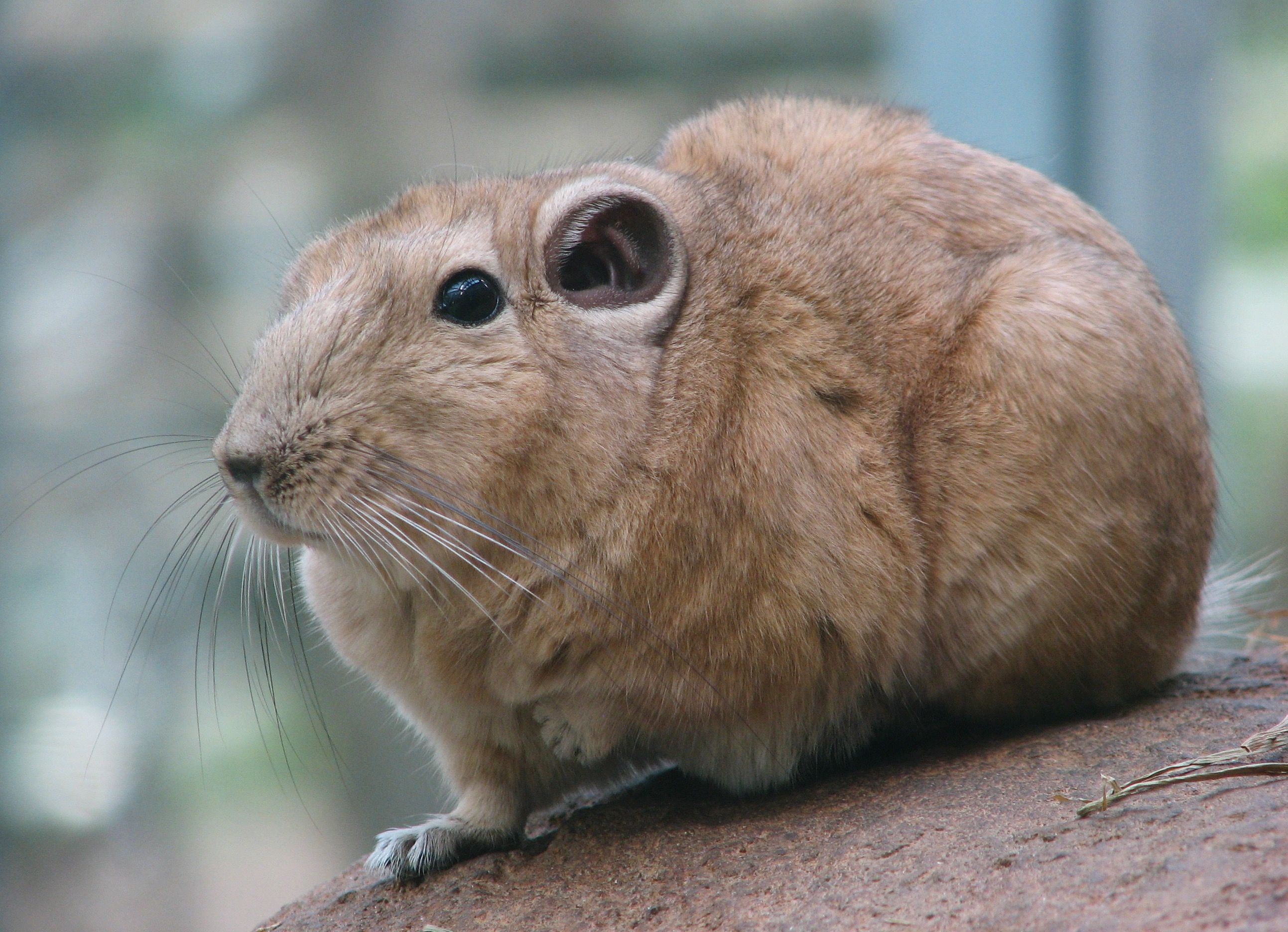 Gundis or comb rats are a group of small, stocky rodents