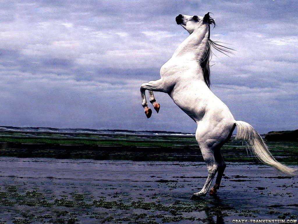 Beautiful Horses Wallpapers White Arabian Horse Horses