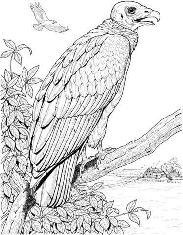 Un Buitre Americano Cabecirrojo Posado Dibujo Para Colorear Buitre Dibujos Dibujos Para Colorear