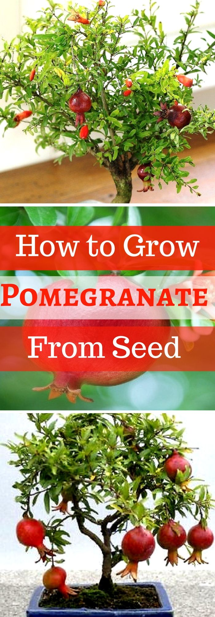 Step by Step Procedure for Growing Pomegranate Plant from