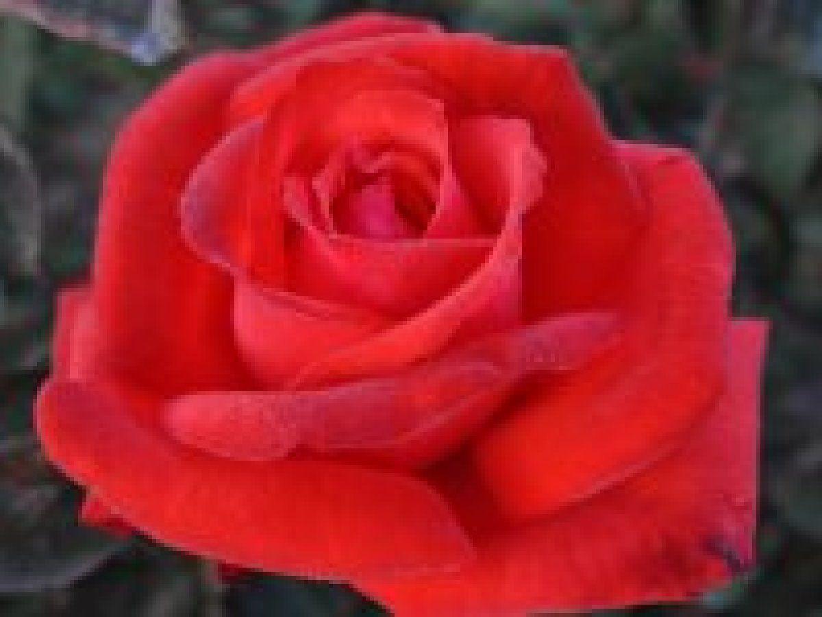 Dolly Parton Hybrid Tea Rose