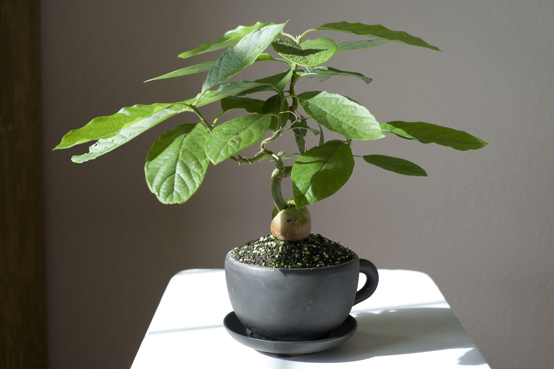 how to grow bonsai fruit trees