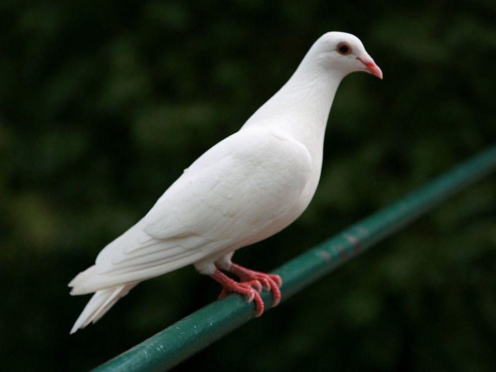 White Dove Hd Picture Jpeg 1 024 768 Pixel Pet Birds White Doves Beautiful Birds