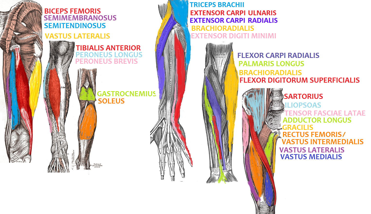 File Arm And Leg Muscle Diagrams