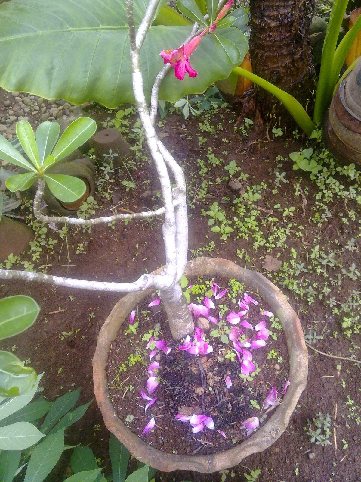 Pariwisata Indonesia Cantiknya Bunga Adenium Untuk Taman Dan Teras Ruma Taman Kebun Bunga