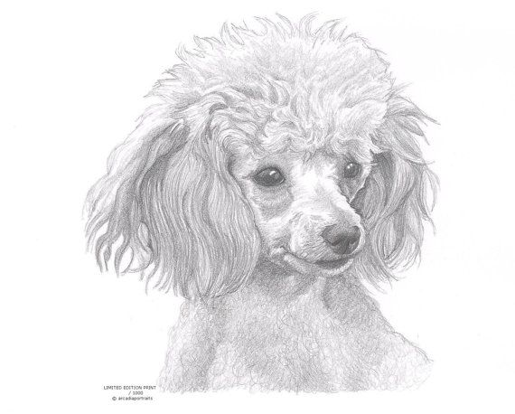 Toy Poodle Dog Limited Edition Art Drawing By Arcadiaportraits