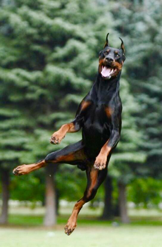 Doberman Doberman Pinscher Doberman Dogs Beautiful Dogs
