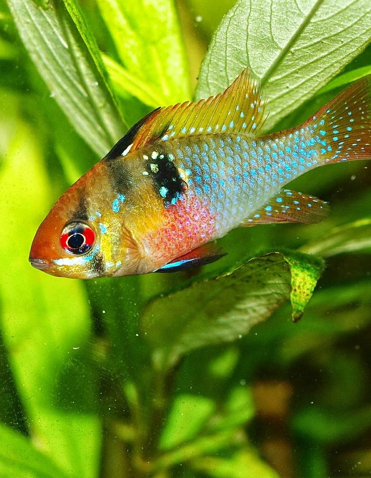 Mikrogeophagus Ramirezi German Blue Ram Care Info Aquariadise Cichlids Aquarium Fish Saltwater Aquarium Fish