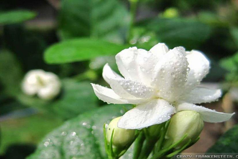 Beautiful Jasmine Flower Wallpaper Image Jasmine Flower Beautiful Jasmine Flower Flower Wallpaper Iphone jasmine flower wallpaper hd