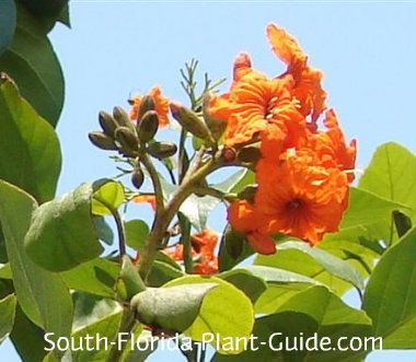 Geiger tree cordia spp believed to be a native of the florida keys believed to be a native of the florida keys the lovely geiger tree blooms during warm weather with frilly flower clusters in vivid orange yellow or white mightylinksfo Images