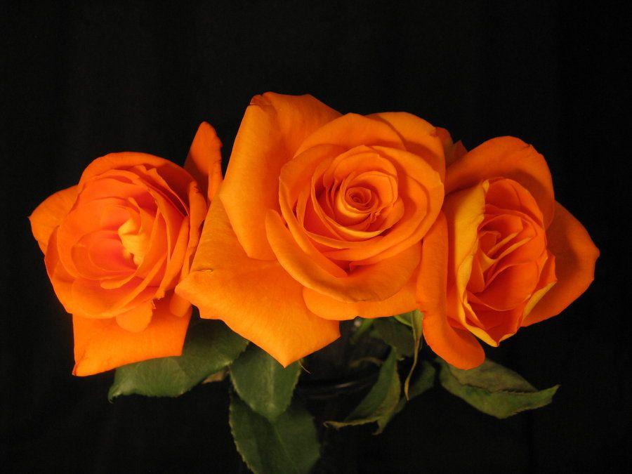 Orange roses 4 by Heidi-V-Art