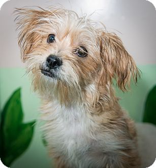 New York Ny Shih Tzu Yorkie Yorkshire Terrier Mix Meet