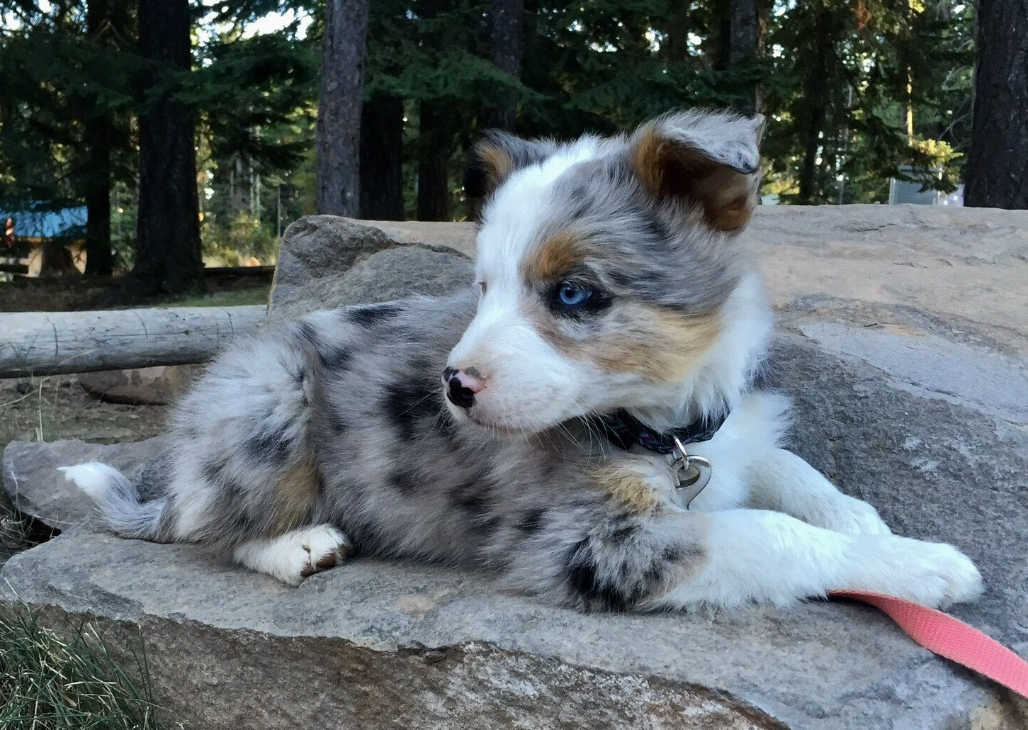Breeding Oregon's Sweetest, Smartest, Best, BorderAussie