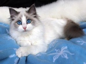 Ragdoll Colors Ragdoll Cat Blue Bi Color Female Http Springvaledolls Com Ragdoll Cat Cats Kittens Coloring