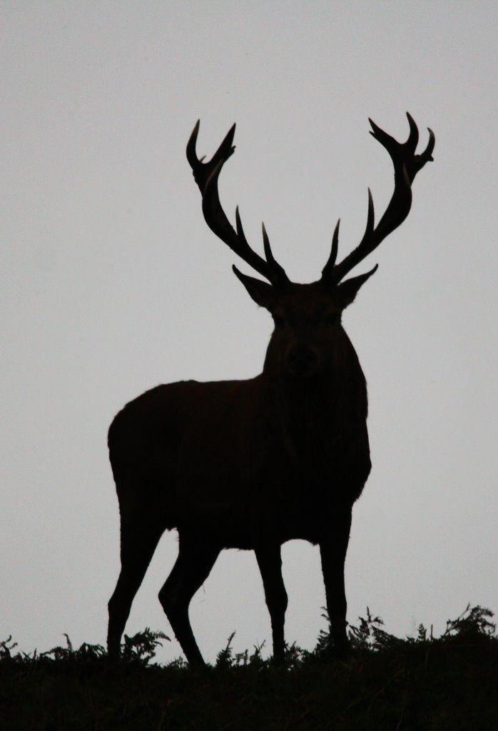 Panoramio Photo Of Red Deer Silhouette Silhouette Art Deer Silhouette Animal Silhouette