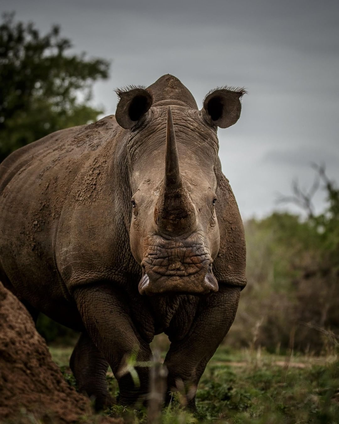 Discovery On Instagram Both Black And White Rhinoceroses Are Actually Gray They Are Different Not In Color But In White Rhinoceros Rhino Animal Rhinoceros