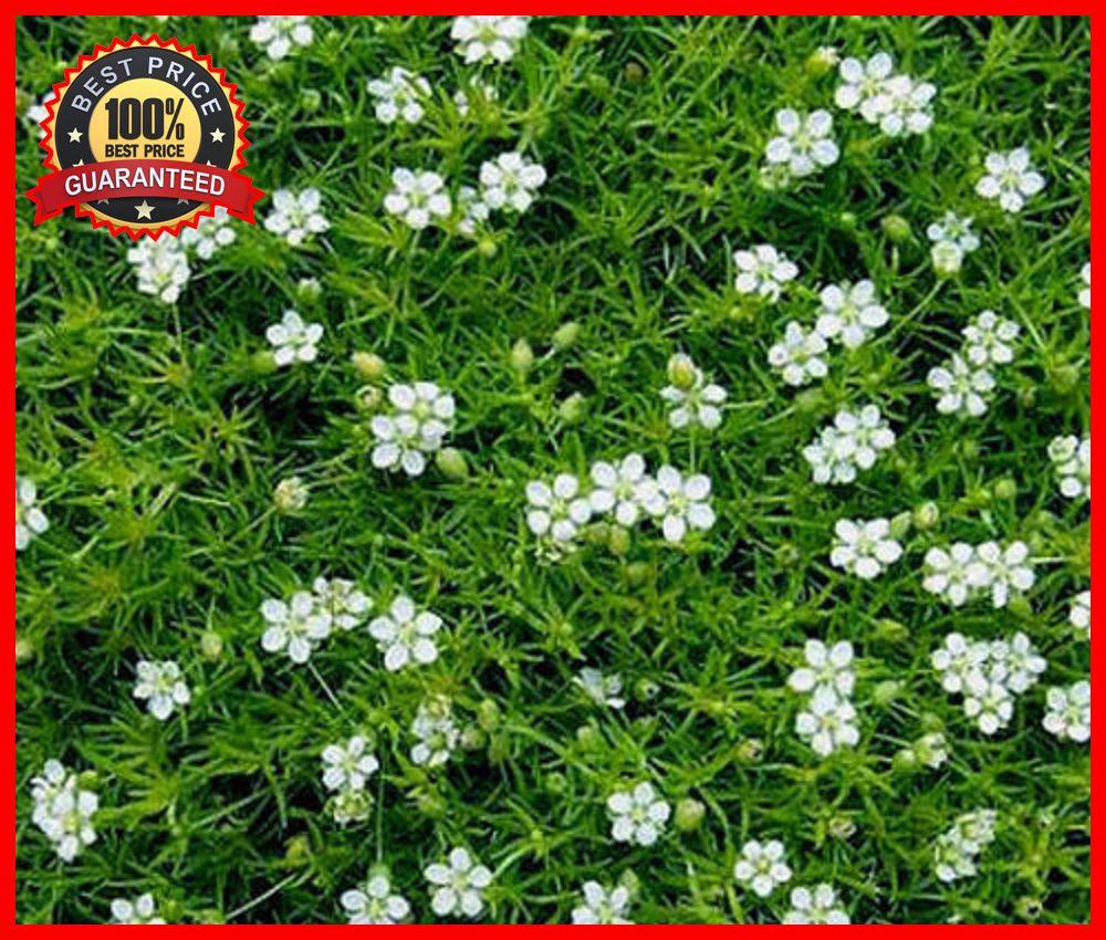 1000pcs Irish Moss Pearlwort Seeds Ground Cover Sagina Subulata