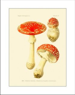 mushroom prints, antique mushroom art, vintage botanical prints, mushroom pictures, discout frames, nature art