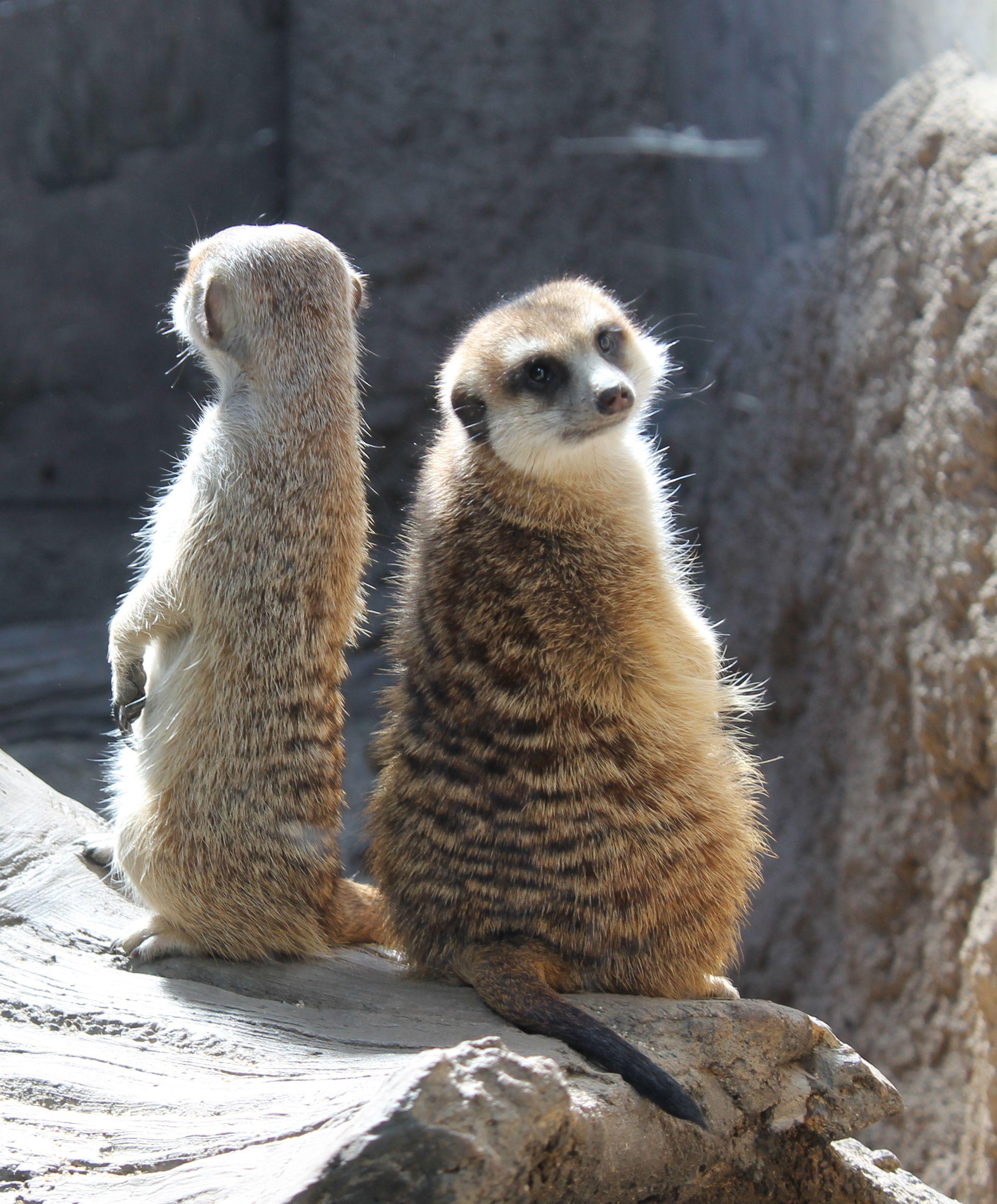 Meerkats Don T Underestimate Them Taken At The Woodland Park Zoo Seattle Woodland Park Zoo Meerkat Zoo