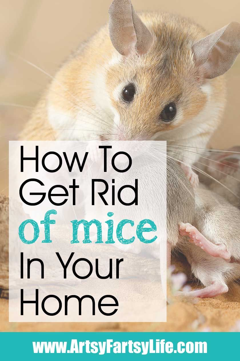 How To Get Rid Of Mice In Your House Getting Rid Of Mice