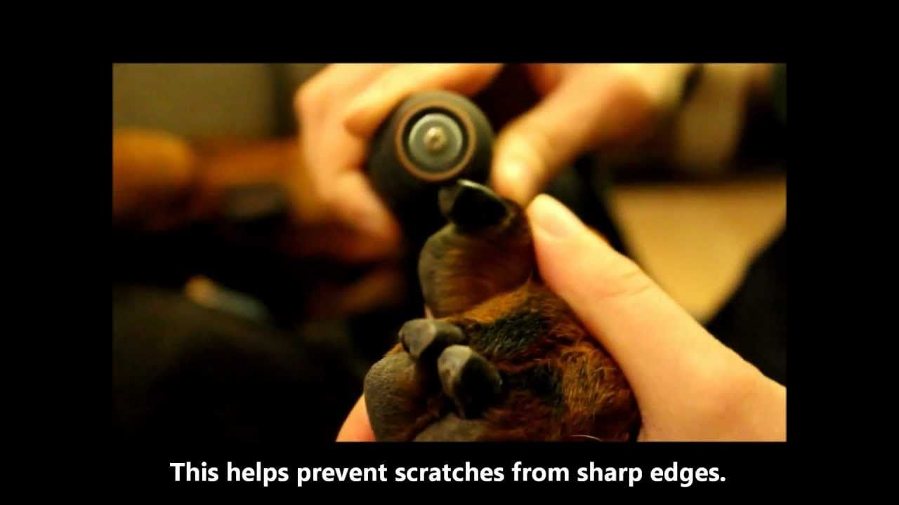 How to dremel a dogs nails dog nails trimming dog