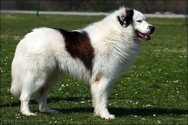 Tornjak Aka Croatian Mountain Dog Lgd Rare Dog Breeds Dog