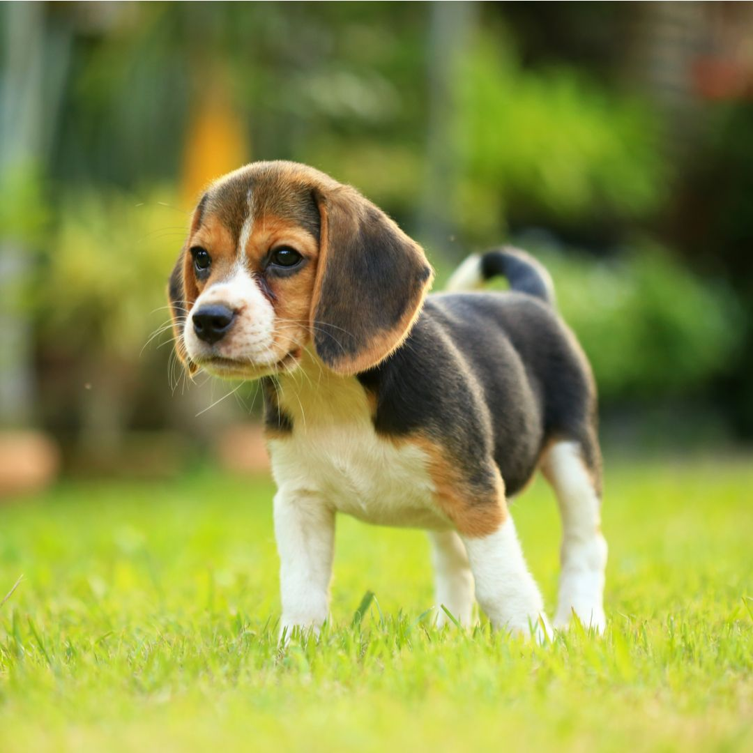 Beagle Puppy On Grass Beagle Puppy Puppy Dog Images Puppies