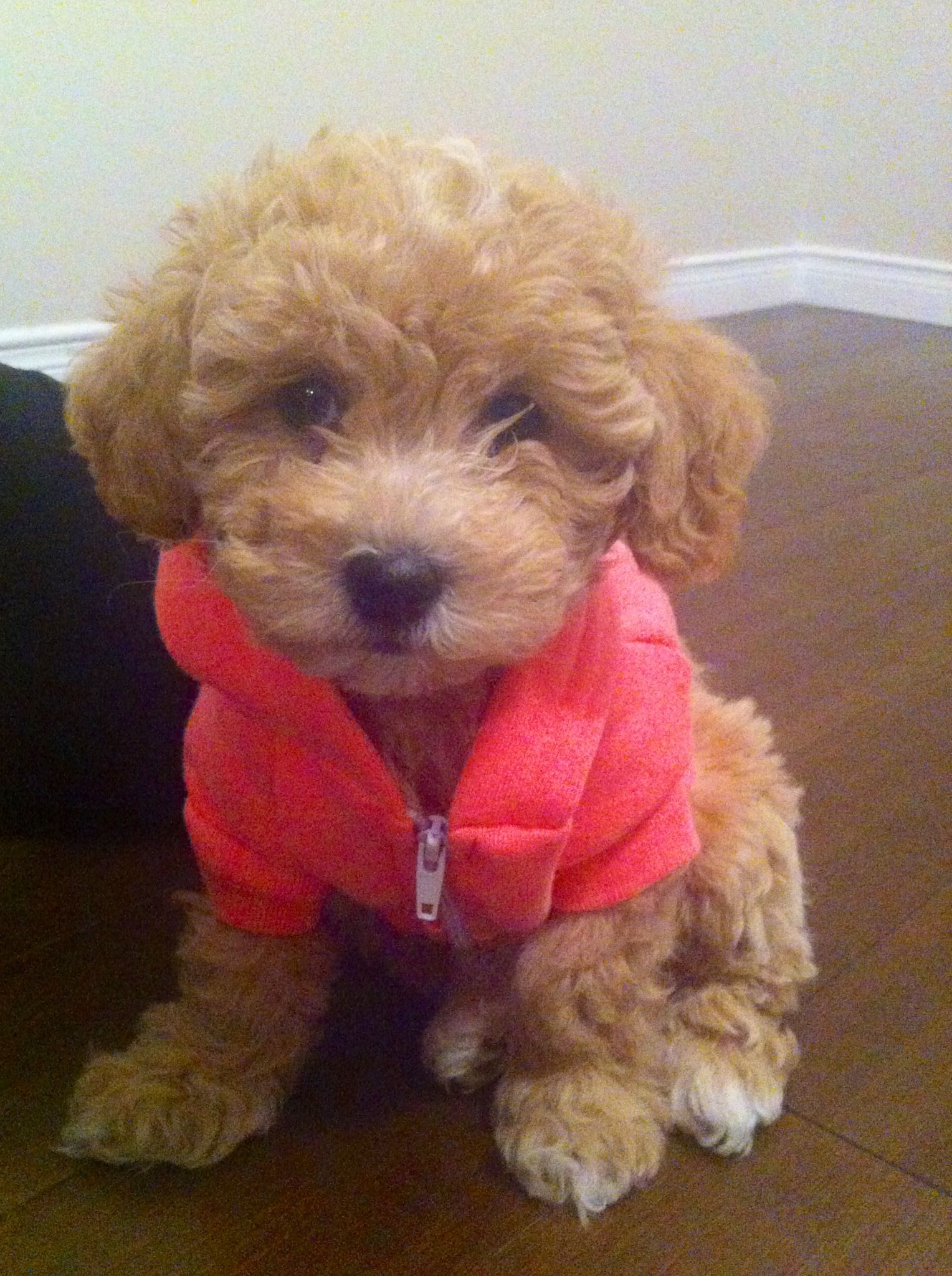 Bichon Poodle My Baby Sophie In Her American Apparel Sweater She S 8 Weeks Today Puppy Swag Baby Puppies Cute Dog Pictures Poodle Dog