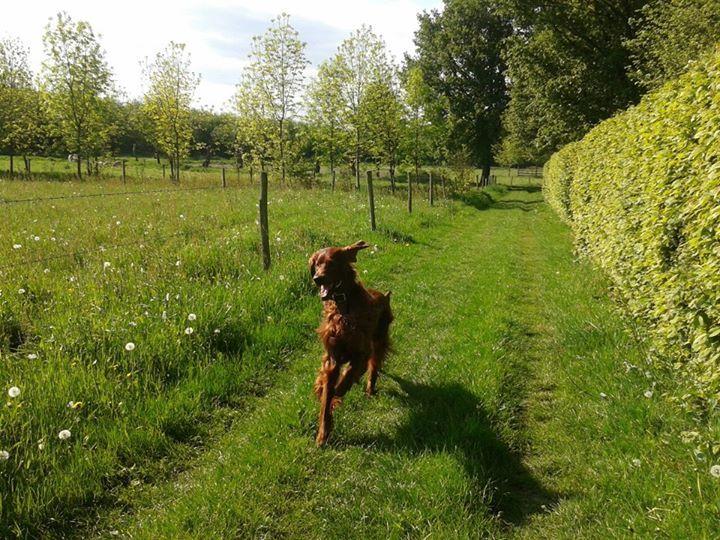Queenstone Una Thom Irish setter, Red dog, Puppies