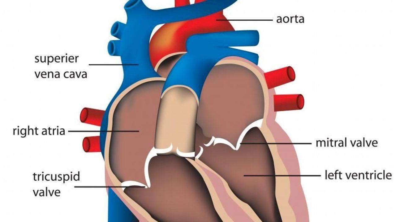 خفقان القلب للحامل وأسبابه Parts Of The Heart Heart Valves Human Heart