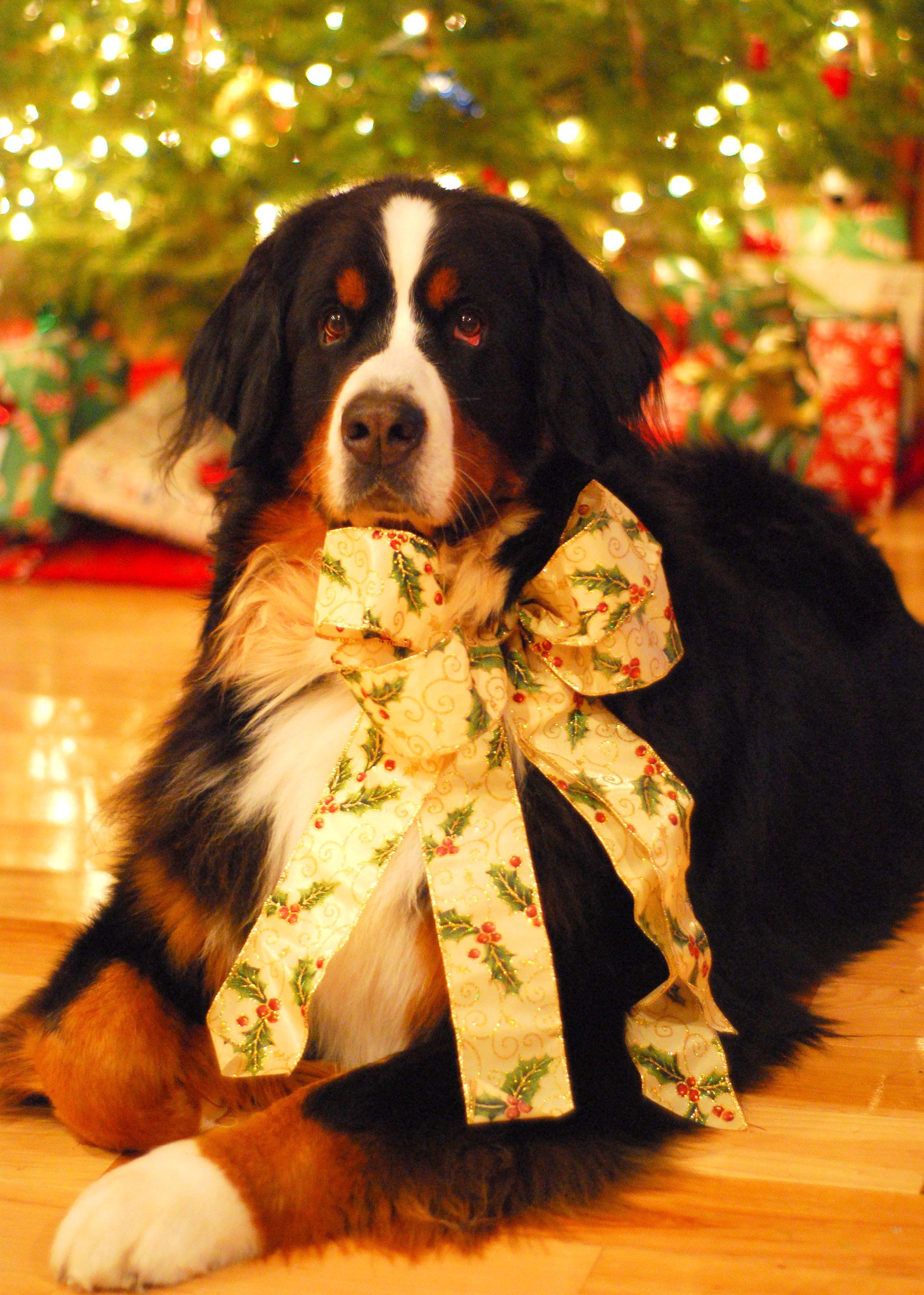 Bernese Mountain Dog Merry Christmas Card Hound Puppy