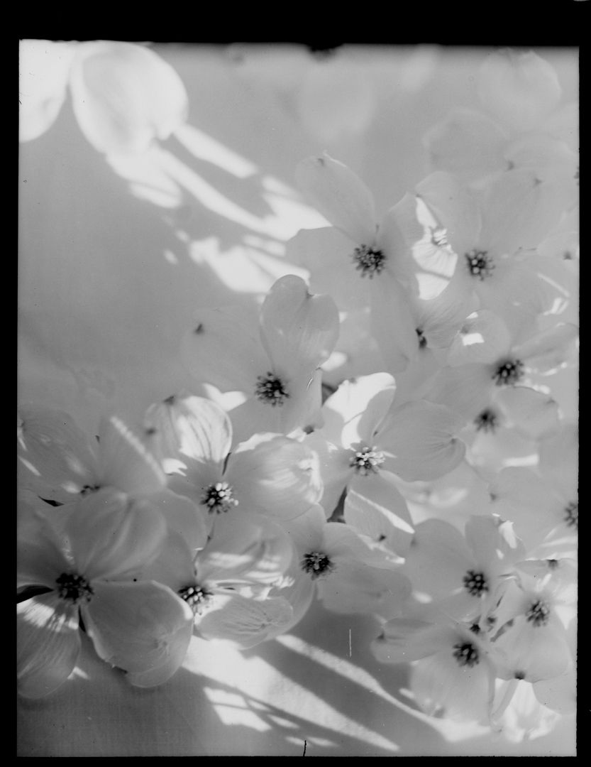 Nell dorr dogwood blossoms us acm flowers pinterest