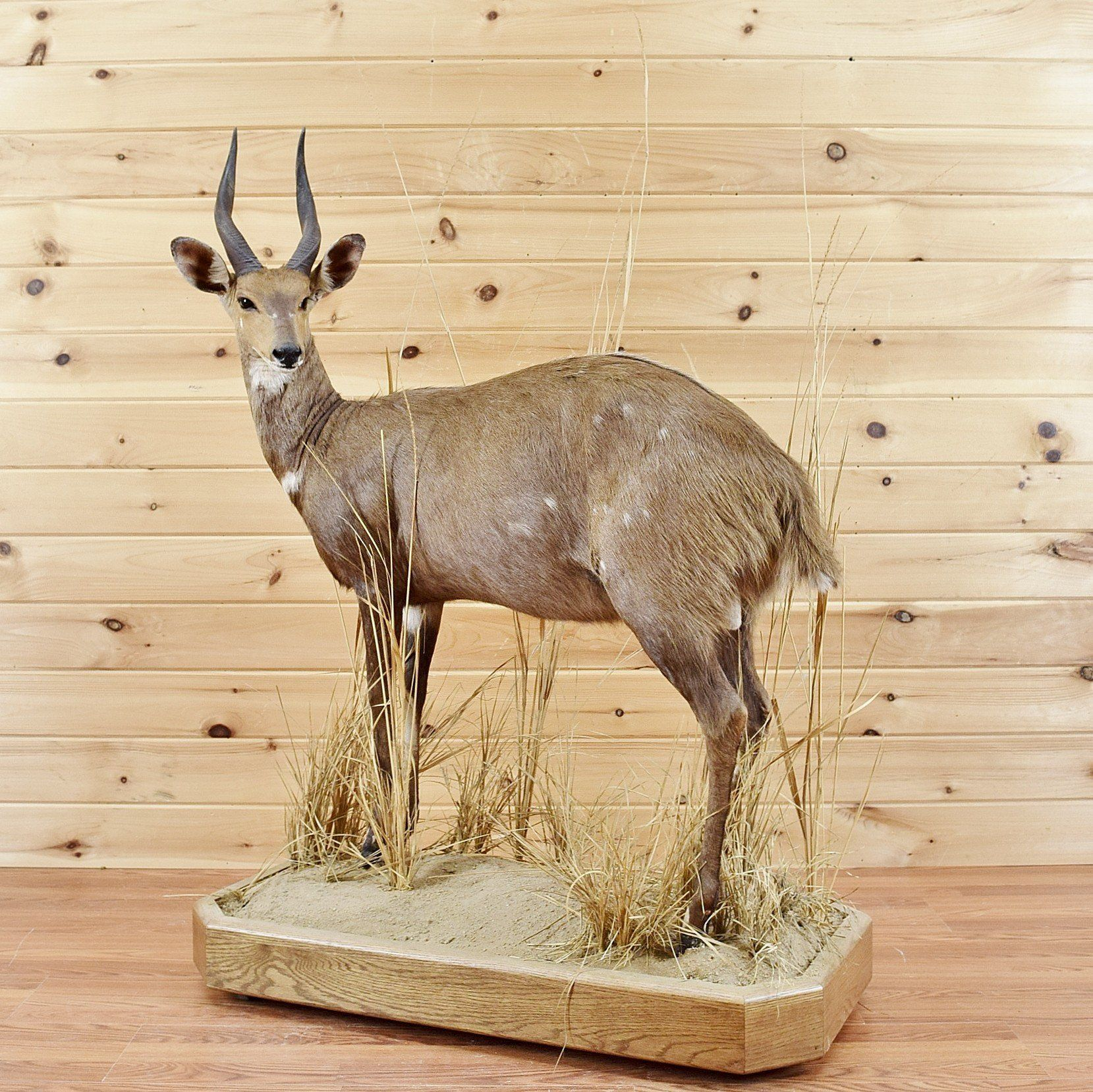 African Bushbuck Life-size Taxidermy Mount CB4012 for sale at Safariworks Taxidermy Sales