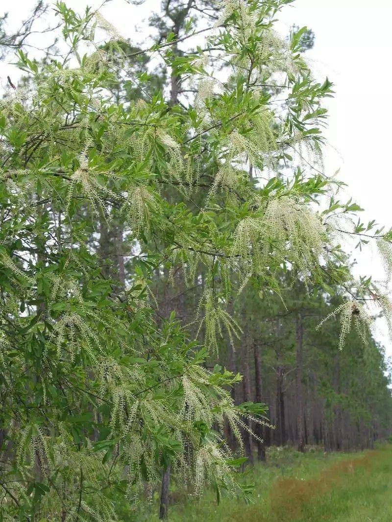 Cyrilla racemiflora TI TI TREE Seeds!