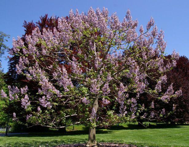 Paulownia Trees- The Royal Empress Tree