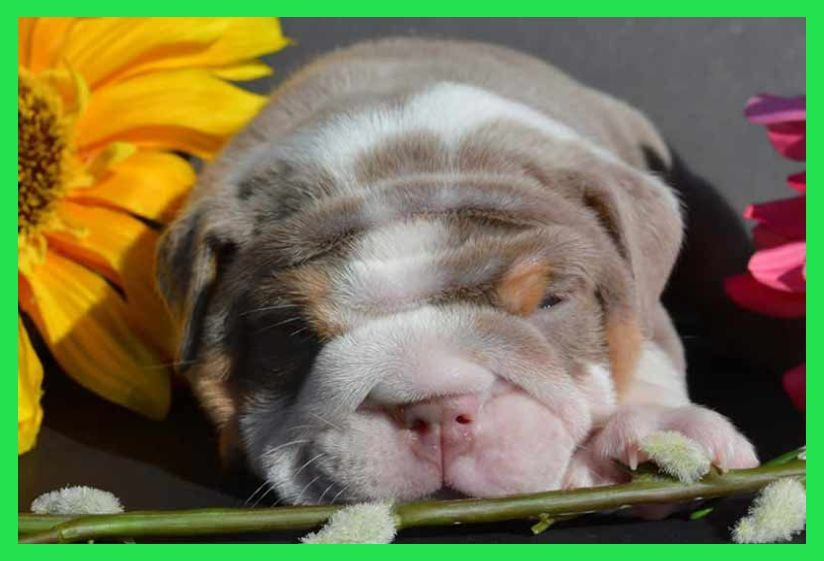 Find English Bulldogs Dogs & Puppies for sale uk at the UK