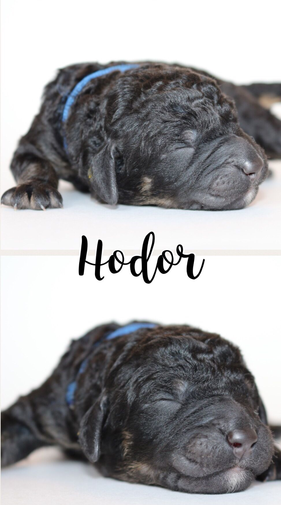 Labradoodle Male From Our Current Litter Hodor Puppies Puppy