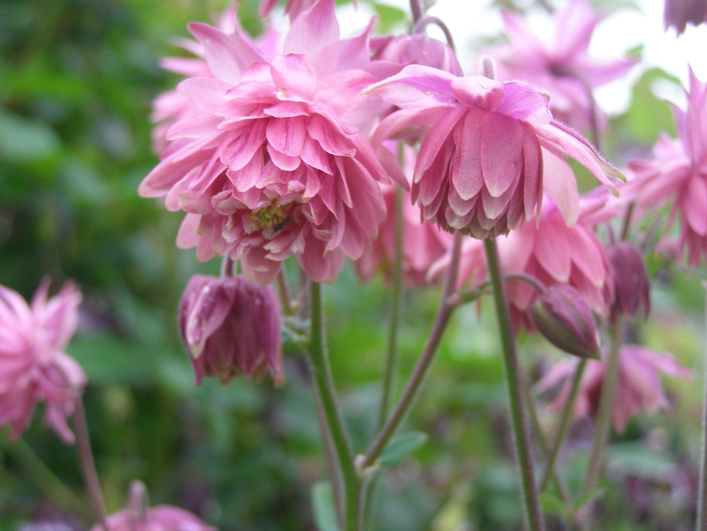 Beautiful pink multi petalled aquilegia columbine flower flower beautiful pink multi petalled aquilegia columbine flower izmirmasajfo Images