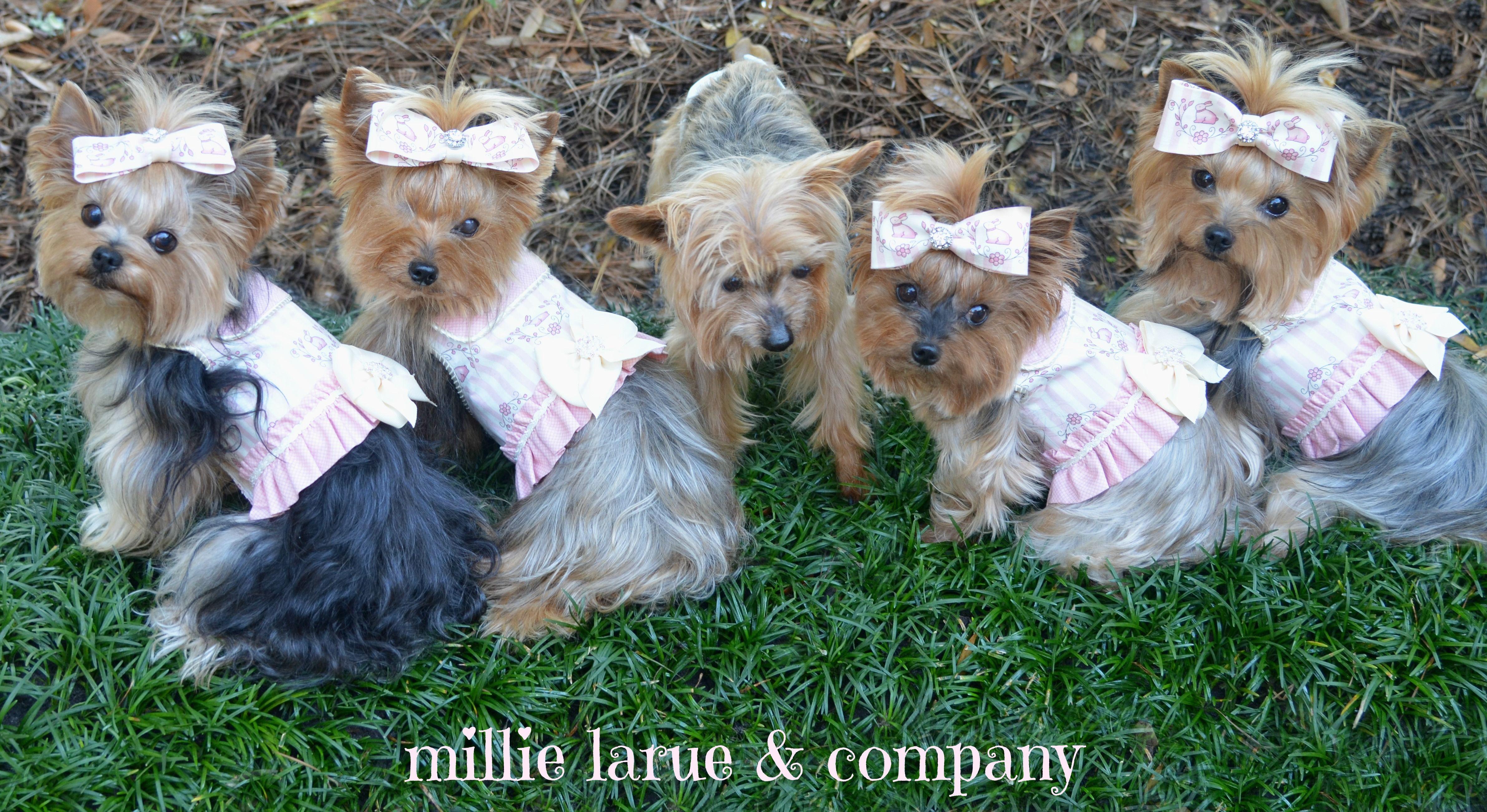 Https Www Facebook Com Millielaruefanclub Yorkie Yorkshire Terrier Pooch
