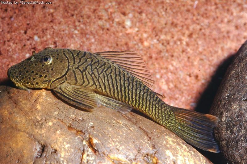 Rubbernose Or Bulldog Pleco Fisheees Pleco Fish