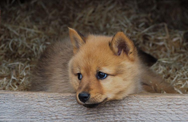 Finnish Spitz Suomenpystykorva Puppy He S Like A Little Fox