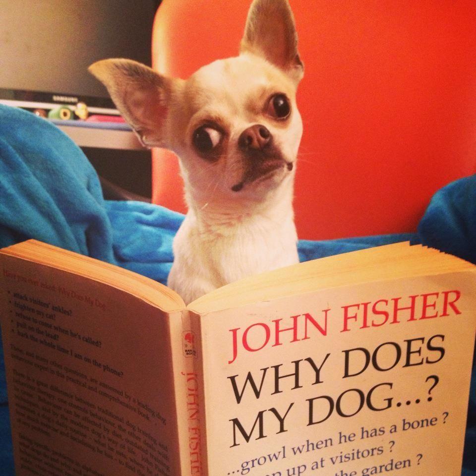 Heavy Reading Chihuahua Dog Book Dog Books Cute Chihuahua