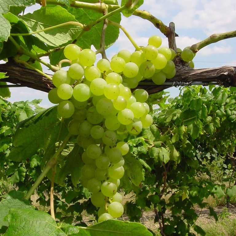 Grapes, Growing Grapes, Grape Vines